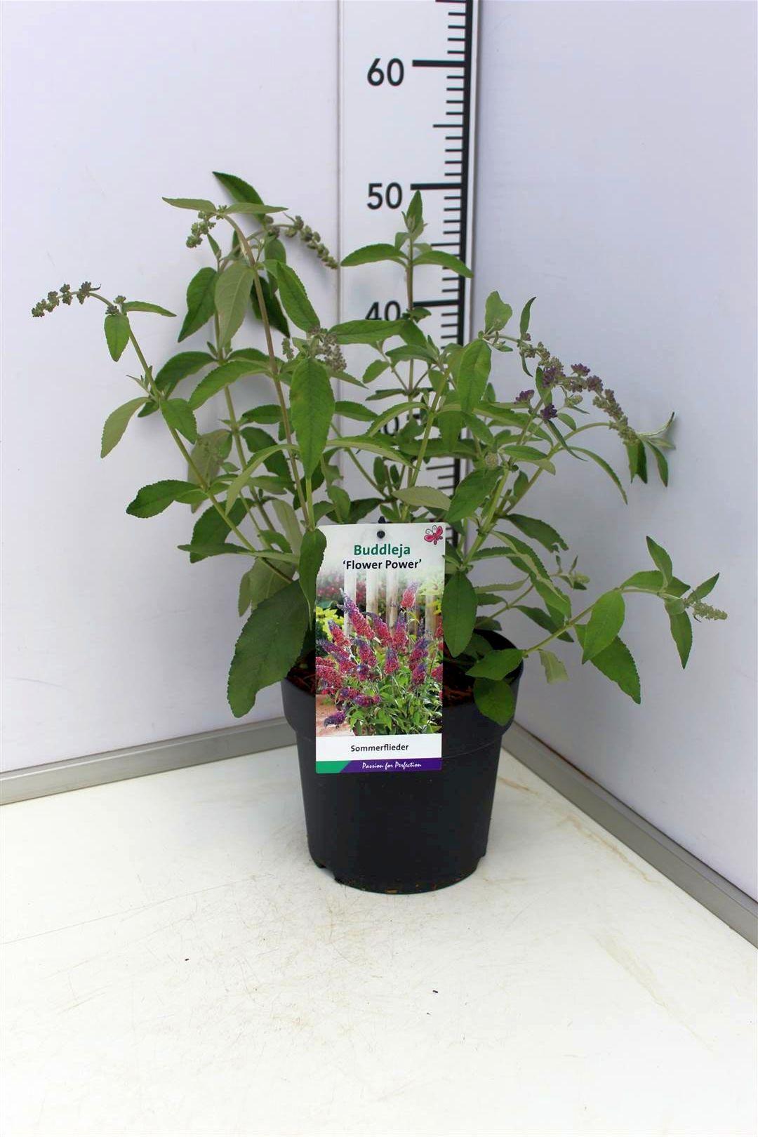 Sommerflieder Flower Power 40-60cm Buddleja